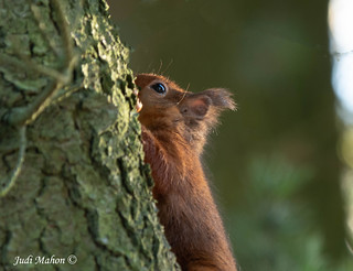 Red Squirrel-2460