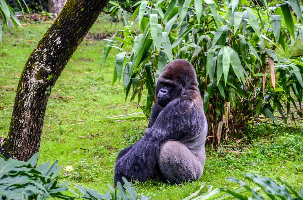 Gorilla sitting gorilla falls AK