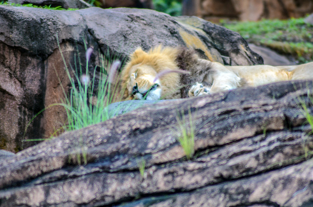 Lion sleeping safari AK