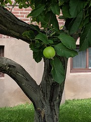 An early apple