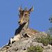Cabra montés ♀(Capra pyrenaica)