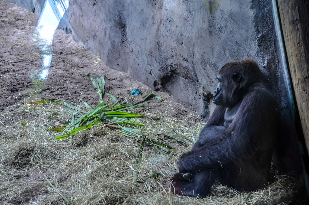 Sad gorilla falls AK
