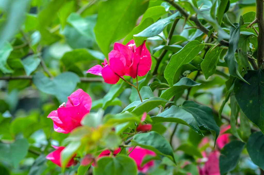 Flowers Pink AK