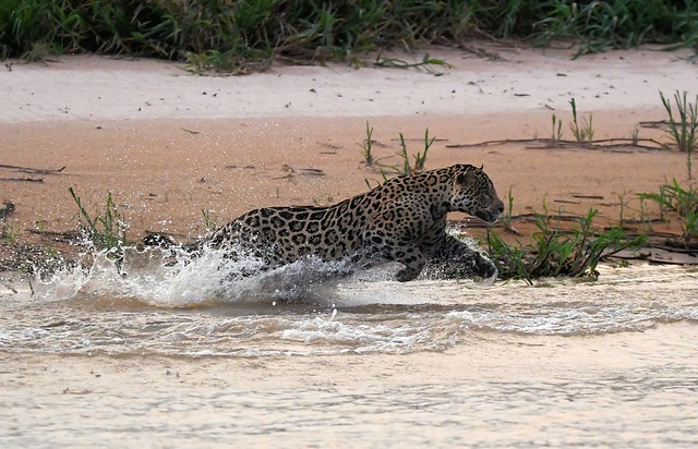 A Jaguar attempts to surprise a Capybara evening lunch - the Pantanal, Brazil.