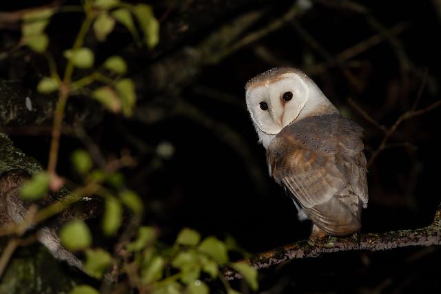 Barn Owl in the sleet