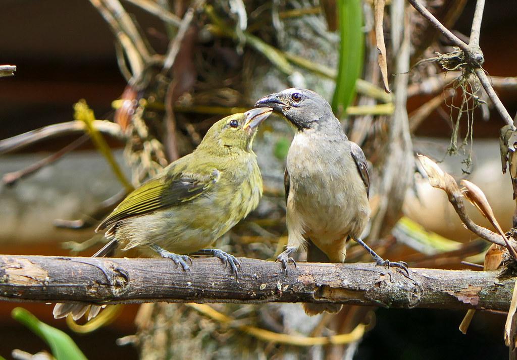 Saltátor Grisáceo, Caribbean Grey Saltator (Saltator olivascens) (Saltator coerulescens) (Saltator coerulescens olivascens)