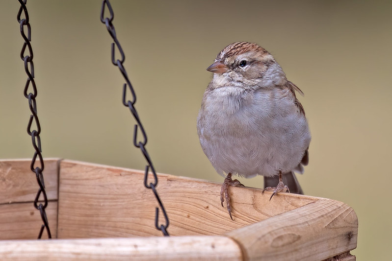 Chipping-Sparrow-5-7D2-091919