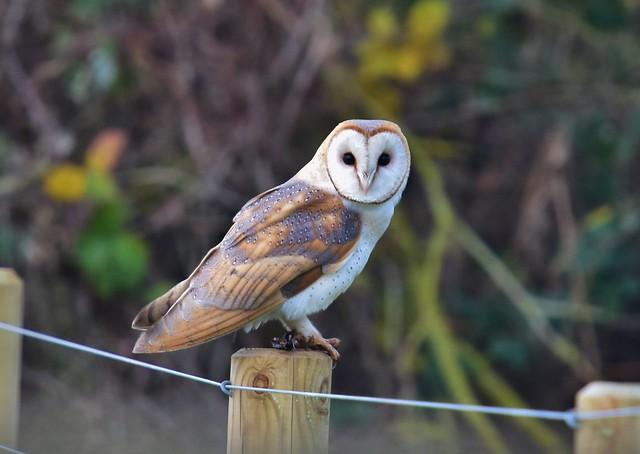 LIZ_4121  Barn Owl Norfolk
