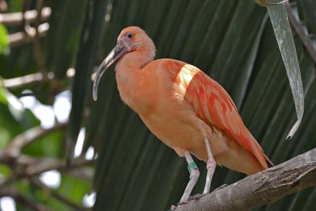 2019.05.24.105 PARIS - Zoo - la serre, ibis rouge