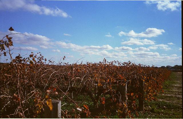 Barossa Valley - vines & sky