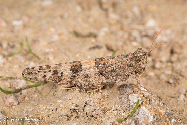 Caerulean-winged Grasshopper (Trimerotropis pseudofasciata) - Male