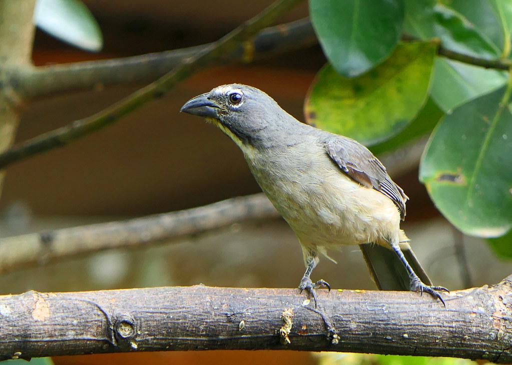 Saltátor Grisáceo, Caribbean Grey Saltator, Gray Saltator (Saltator olivascens) (Saltator coerulescens) (Saltator coerulescens olivascens)