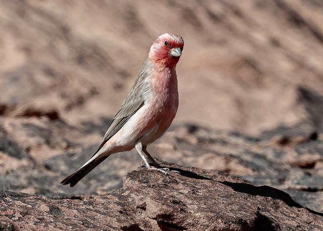 The National Bird of Jordan, Sinai Rosefinch (Carpodacus synoicus), Wadi Rum, Aqaba Governorate, Jordan