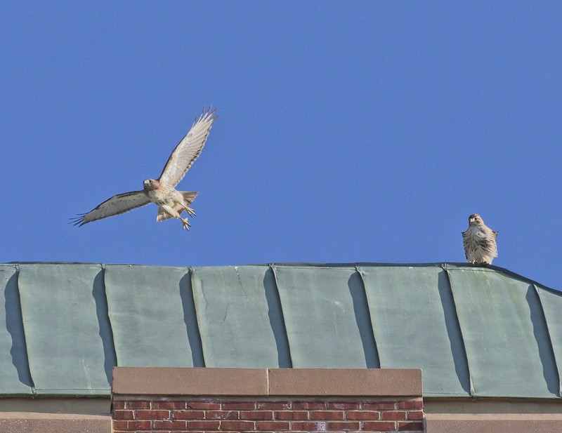 Red-tailed hawks Amelia and Christo atop the Christodora
