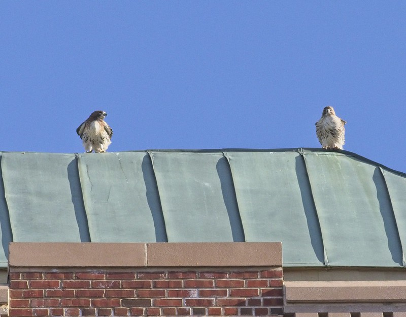 Red-tailed hawks Amelia and Christo keeping watch from the Christodora