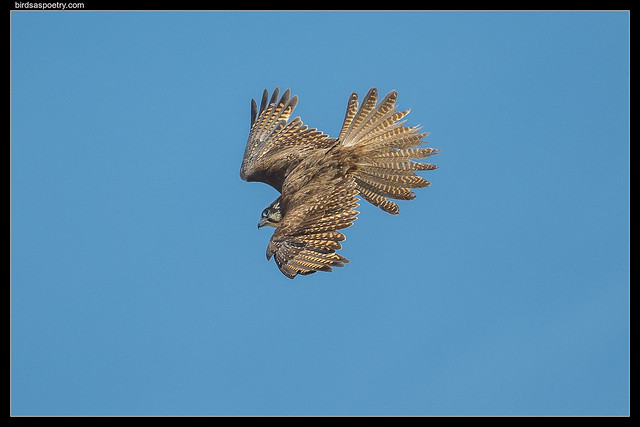 Brown Falcon: On Target