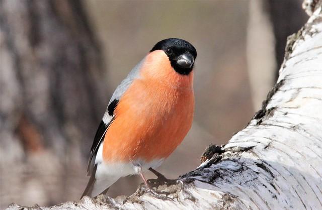 Bullfinch, male