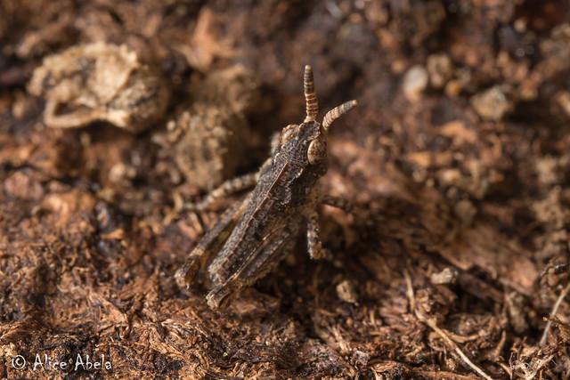 Sticthippus californicus - 1st Instar