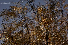 Sunshine on the autumn leaves gives a golden look