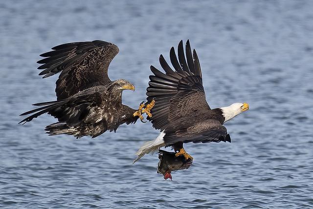 Bald Eagles Battle