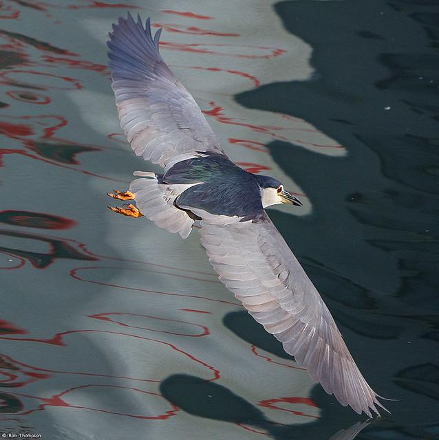 Black-crowned Night Heron  20191210-PANA2812