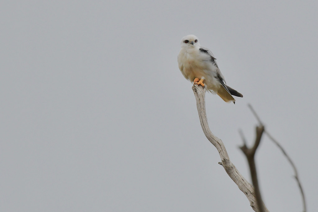 Black-shouldered Kite ( its windy at the top )
