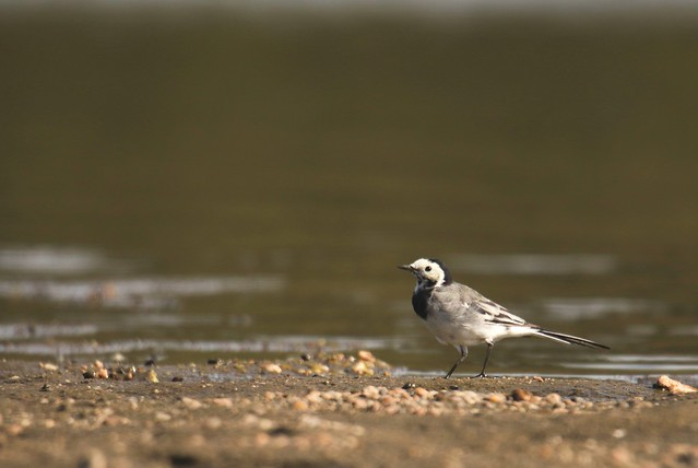 Bergeronnette grise. Pied Wagtail.