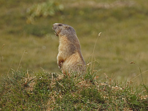 Marmotte debout