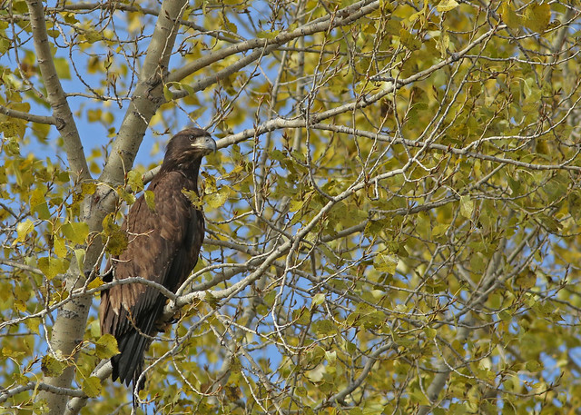 Immature Bald Eagle...#20