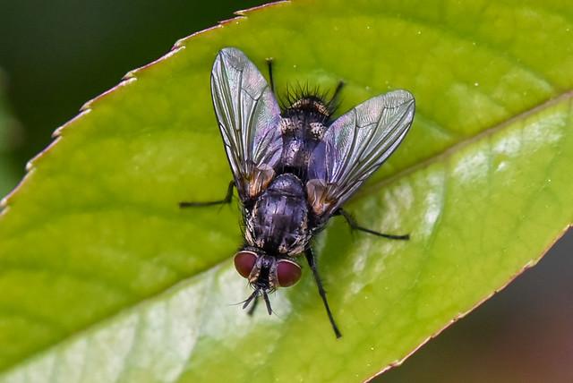 Mouche  --  Fly  --  Tachinidae  Thelaira nigripes