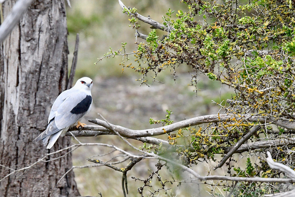Black - shouldered Kite (1)