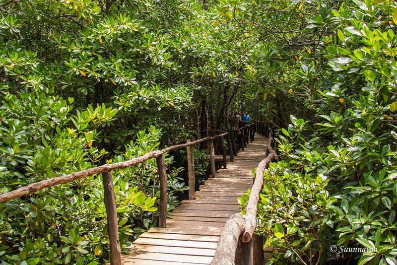 Sansibar, Jozani Forest, mangrovemetsä