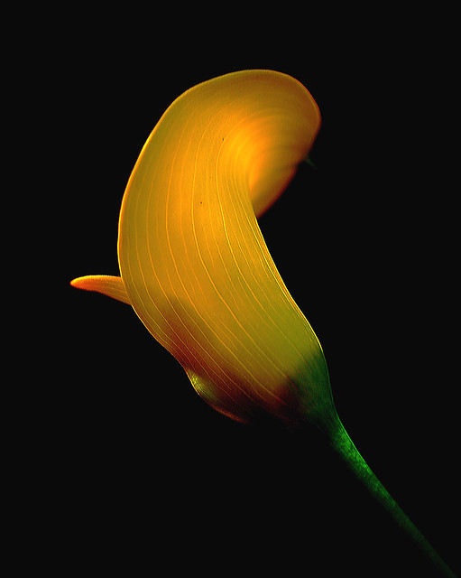 IMGP3286 Calla Lily - by backlight