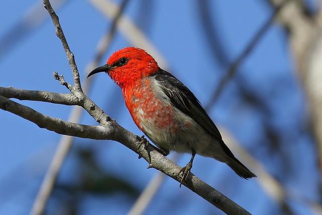 Scarlet Myzomela (Myzomela sanguinolenta)