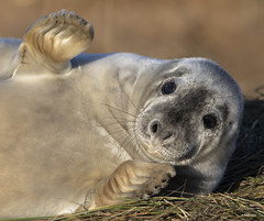 Grey Seal_B9A5111