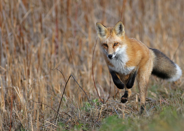 Red Fox...#42.. in full stride..