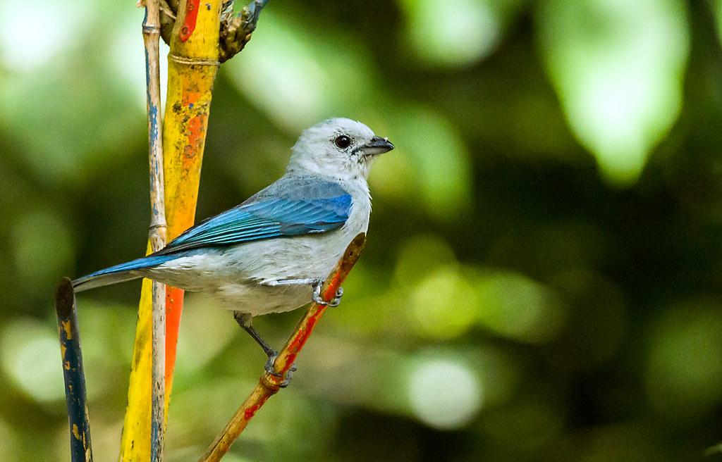 0P7A9855   Blue-gray Tanager, Panama