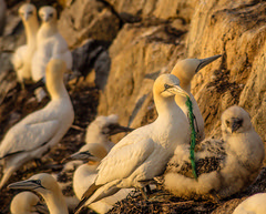 Marine litter. Gannet with stuck piece of rope.
