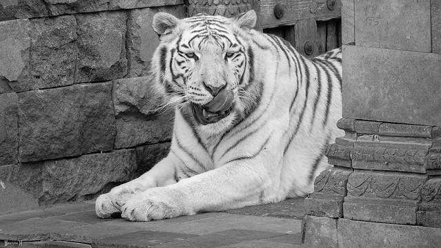 Tiger - 7834