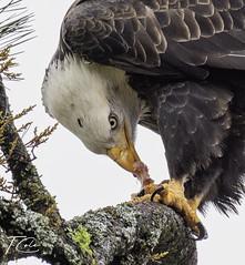 Bald Eagle (December 5 2019)