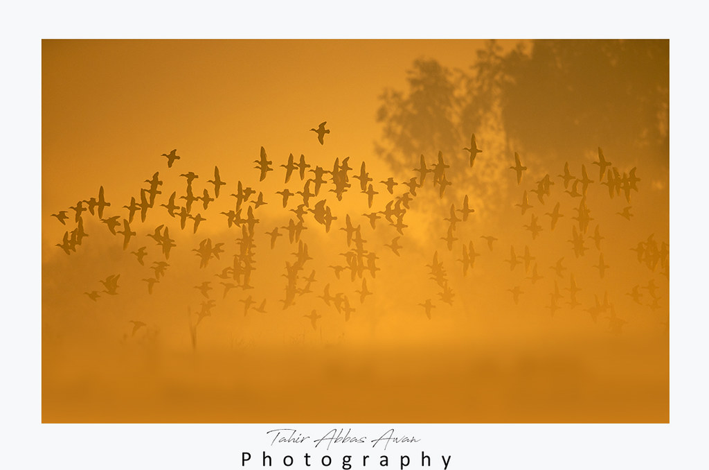 Flock of birds flying at Sunrise