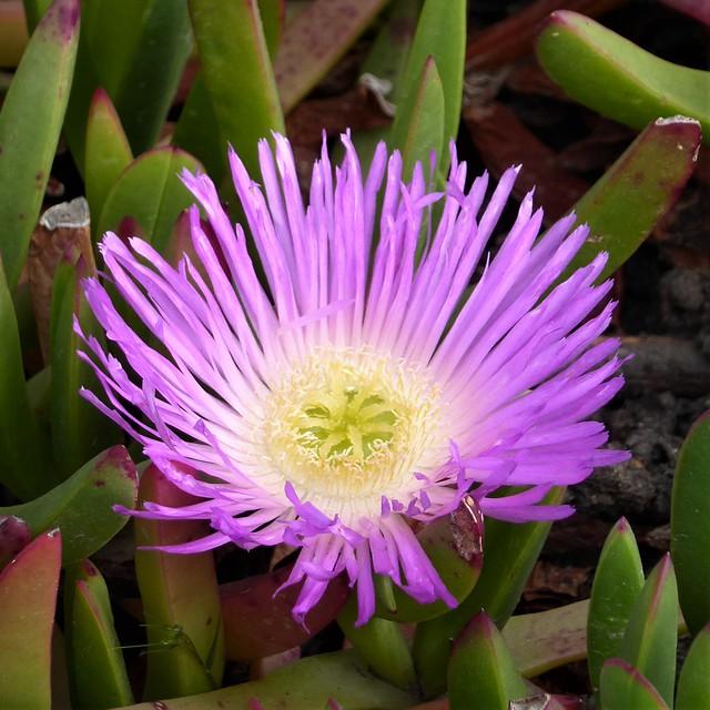 Monterey Peninsula, CA, 17-Mile Drive, Pacific Ocean Coastline. Spanish Bay, Succulent Plant, Pink Flower (name?)