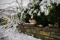 ❅ Between The Snow & Marigold ❅