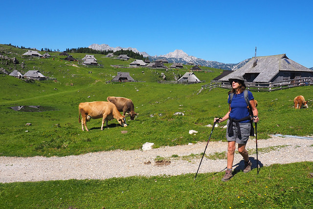 Andy and cows, walking through Velika Planina