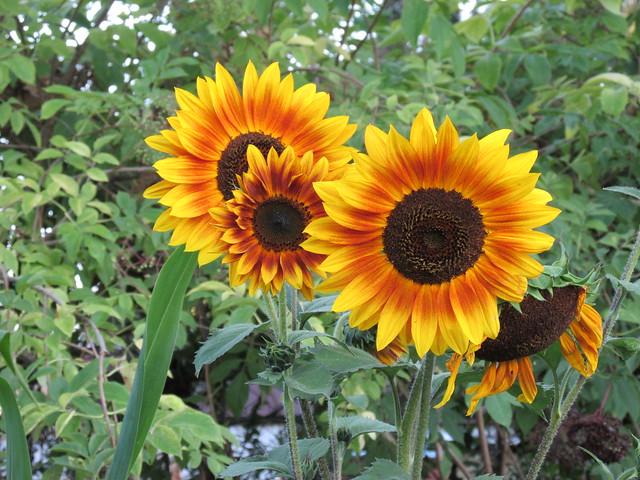 'Autumn Beauty' Sunflower