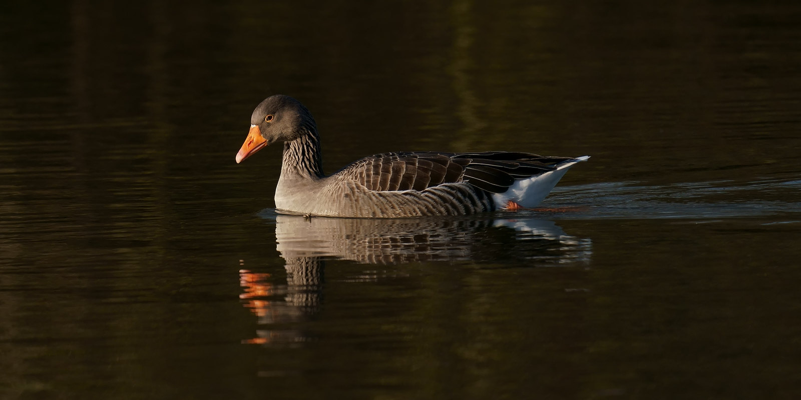 Greylag reflections