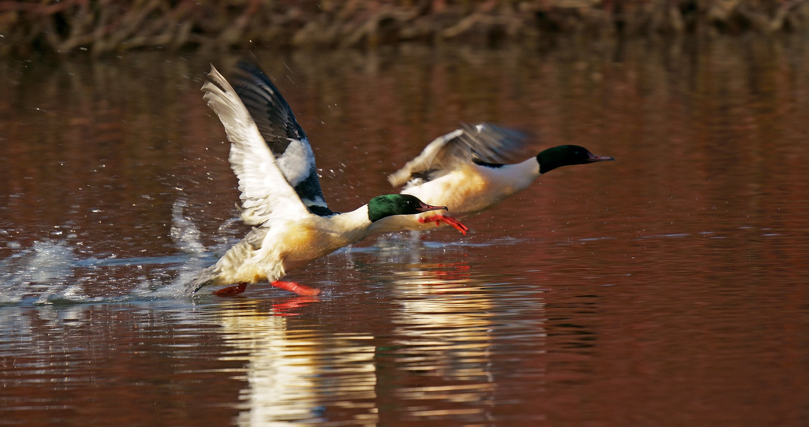 Goosander twin take-off