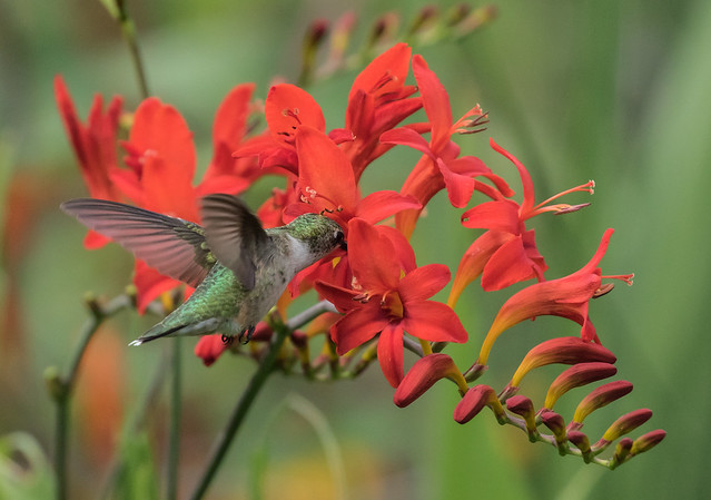 015A1452 Ruby-throated Hummingbird