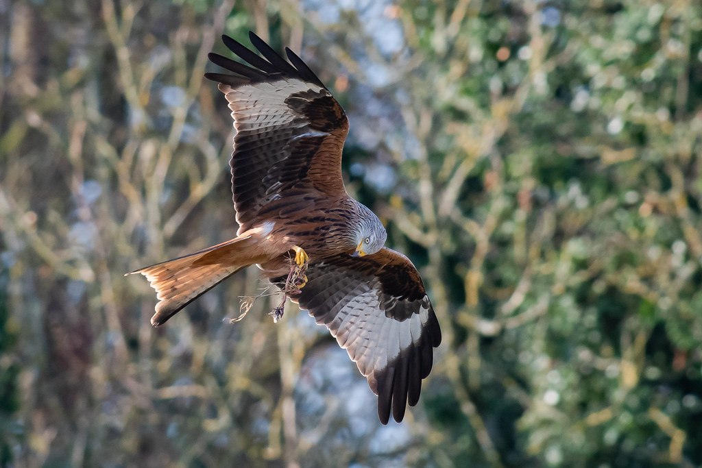 Red Kite feeding Dec 2019