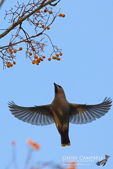 Bohemian Waxwing in Flight (Bombycilla garrulus)